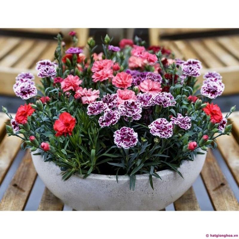 Hạt giống hoa Cẩm Chướng kép lùn mix