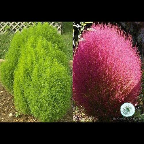 Hình ảnh 50h Hạt Giống Cỏ Đổi Màu - (Kochia scoparia)