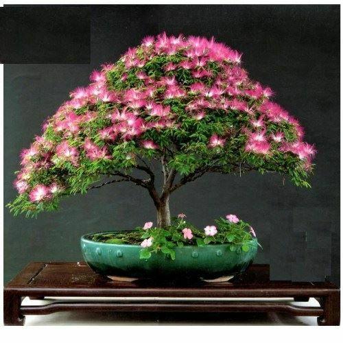 Hình ảnh Hạt giống cây hợp hoan tặng sen nhật mini