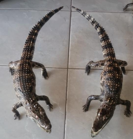 Hình ảnh cá sấu nhồi bông thật