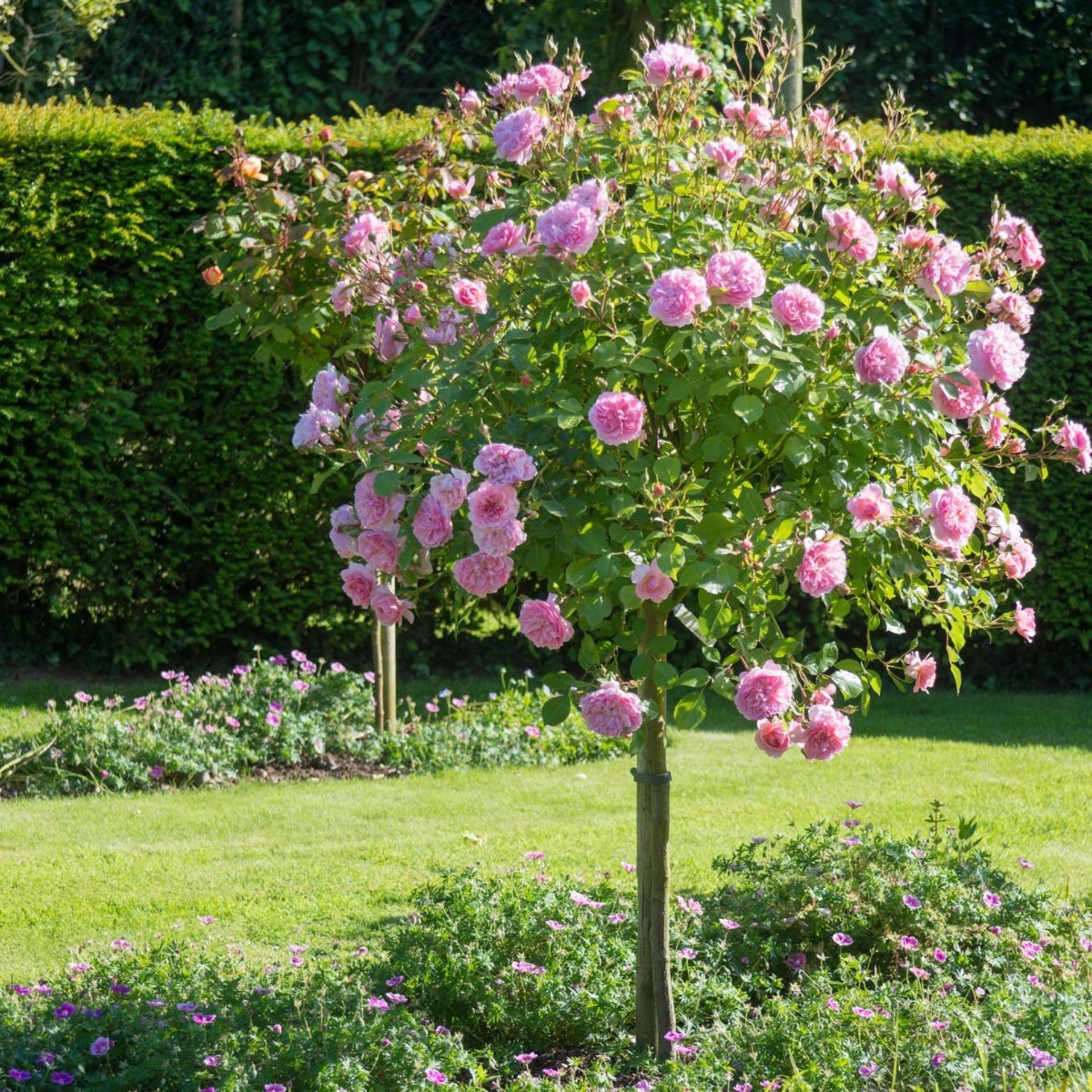 Hình ảnh Hạt giống Hoa hồng thân gỗ (Gói 15 hạt - Kèm tài liệu HD)
