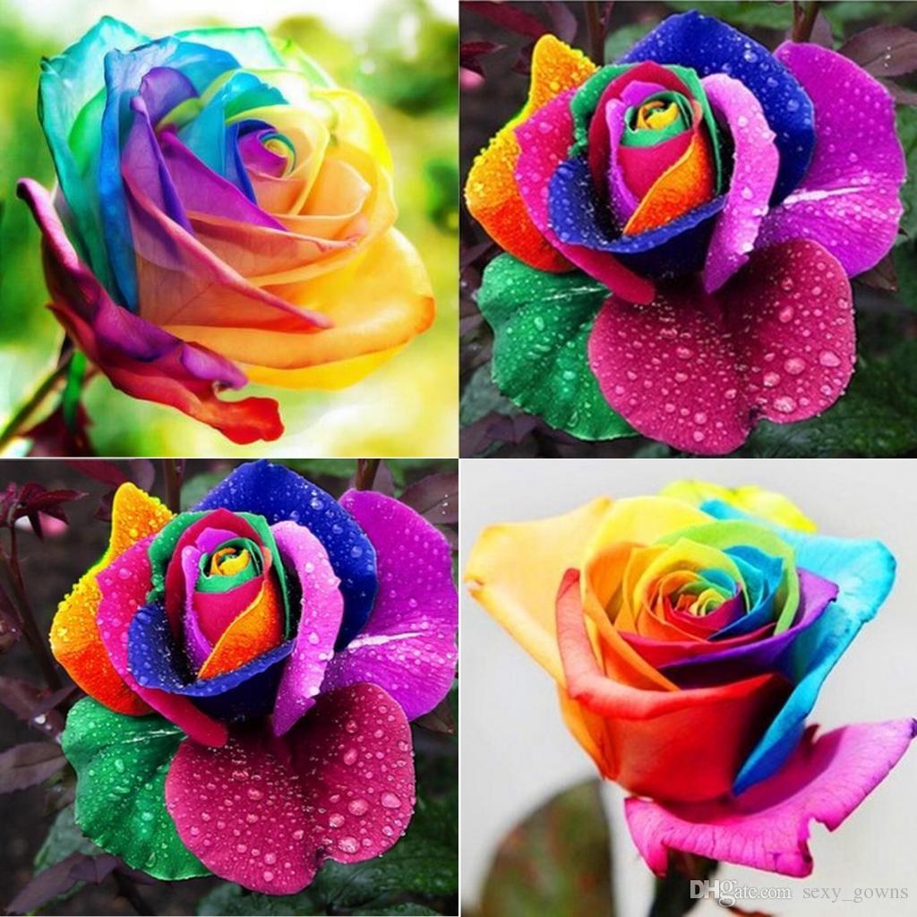 Hình ảnh Hạt giống Hoa hồng cầu vồng 7 sắc (10 hạt)