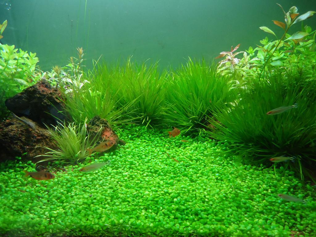 Hình ảnh 02 Combo hạt giống cỏ tai bèo thủy sinh