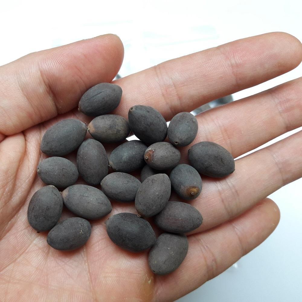 Hình ảnh Hạt giống sen mini Nhật Bản (gói 15 hạt)