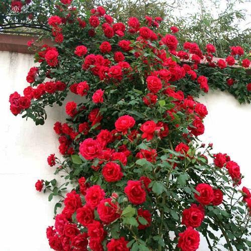 Hình ảnh Hạt Giống Hoa Hồng Leo Đỏ. Túi 5 Hạt Chất Lượng Cao.