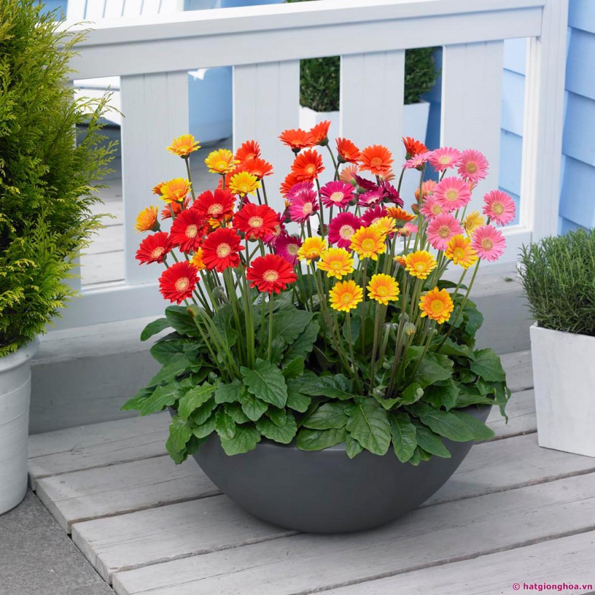 Hình ảnh Hạt giống hoa cúc đồng tiền mix