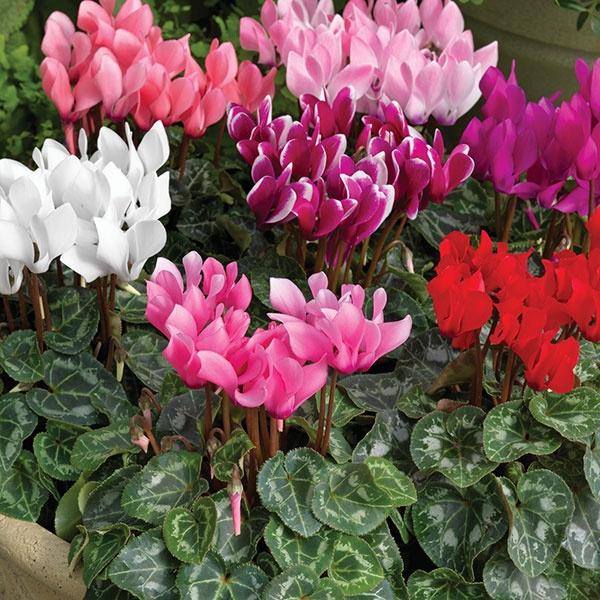 Kỹ thuật trồng cây và chăm sóc hoa anh thảo đẹp hút hồn - ảnh 1