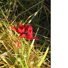 Ảnh decal bóc dán Hoa Tulip Kolpakowskiana