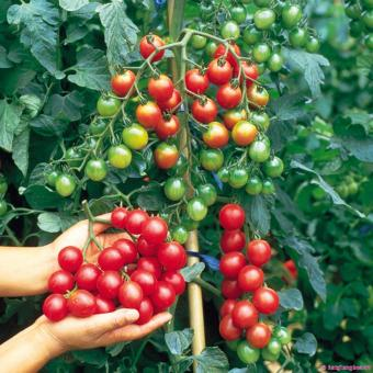 Bộ 2 gói hạt giống Cà chua bi cao cây quả tròn đỏ - 8255641 , LU297HLAA4YAISVNAMZ-9127507 , 224_LU297HLAA4YAISVNAMZ-9127507 , 80000 , Bo-2-goi-hat-giong-Ca-chua-bi-cao-cay-qua-tron-do-224_LU297HLAA4YAISVNAMZ-9127507 , lazada.vn , Bộ 2 gói hạt giống Cà chua bi cao cây quả tròn đỏ