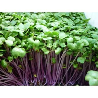 Bộ 3 gói hạt giống Rau mầm củ cải đỏ - Tặng kèm 3 viên nén kích thích nảy mầm