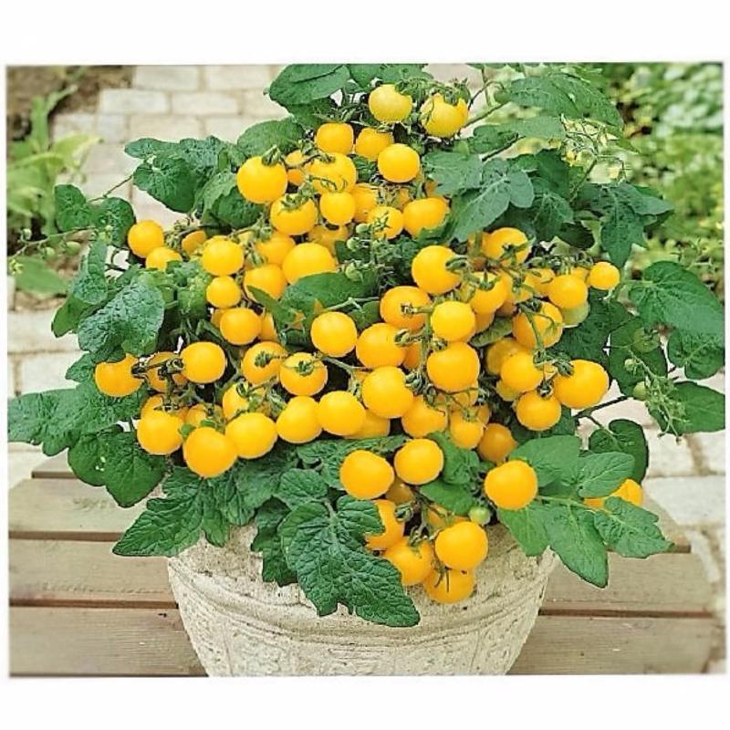 Hạt giống Cà Chua Bi Vàng F1 trồng chậu -Hà Lan