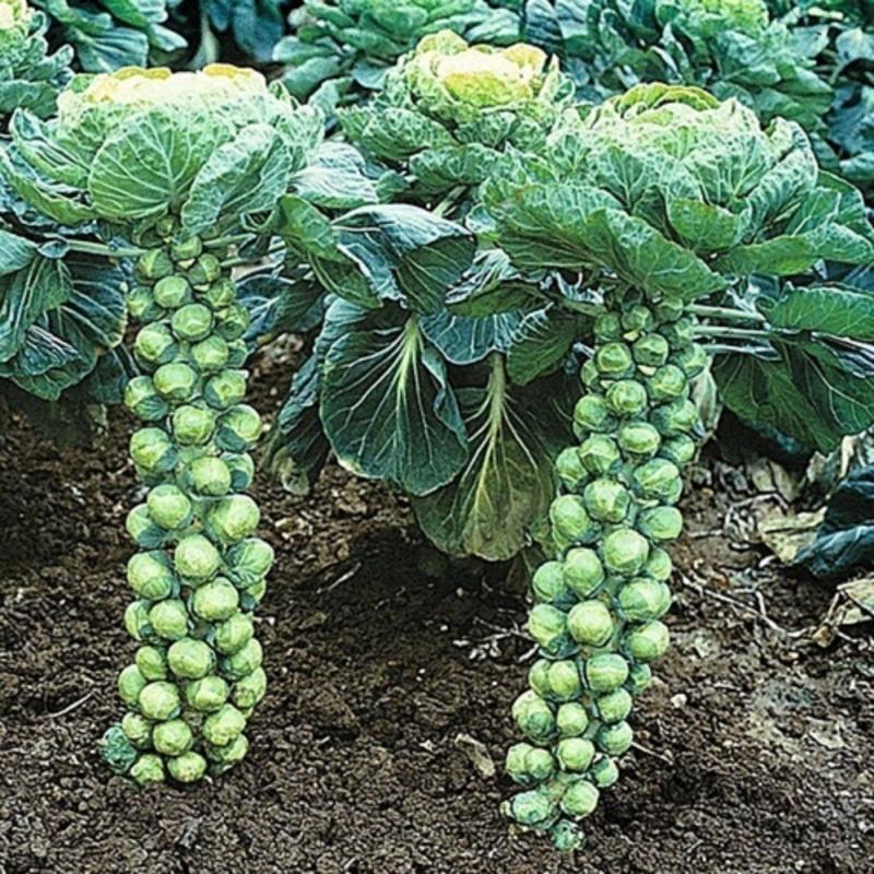 Hạt giống Cải bắp mini F1 10 hạt - Sao việt