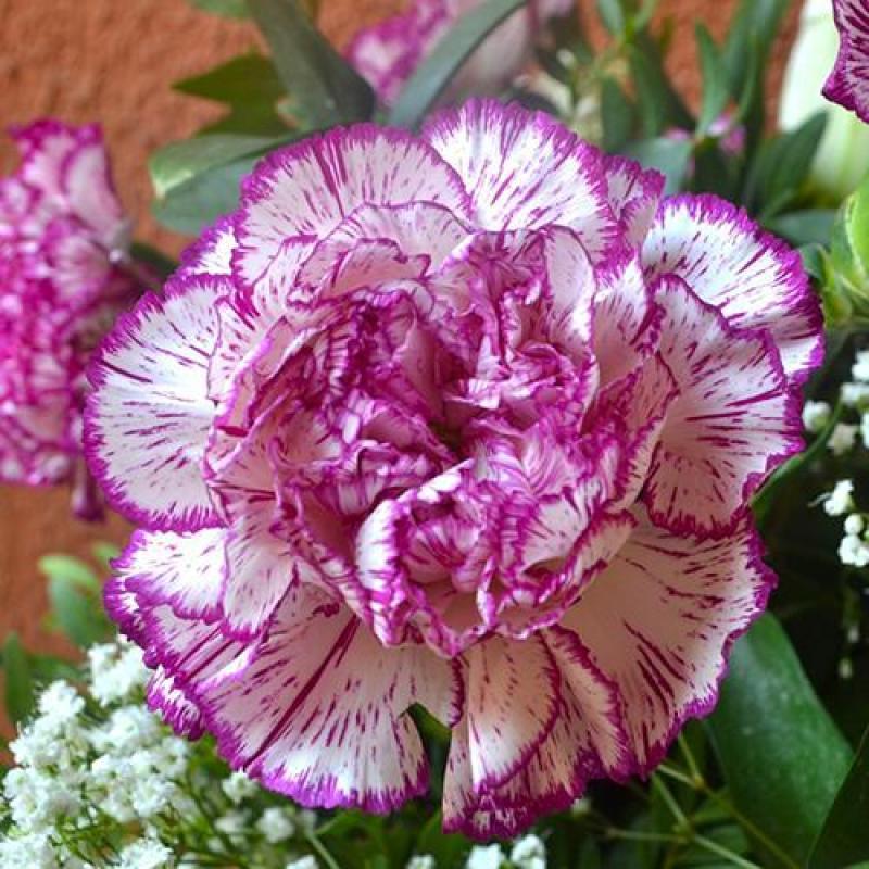 Hạt giống hoa Cẩm chướng kép viền mix -