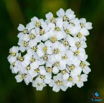 Hạt giống hoa Cỏ Thi (Yarrow) (Dương Kỳ Thảo) Mix
