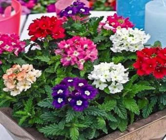 Hạt giống hoa Cúc Lá Nho (hoa Vân Anh)