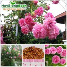 Hạt giống hoa hồng leo Pháp 6 màu (gói 15 hạt) - Hạt giống sạch