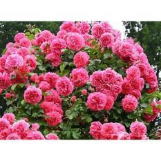 Hạt giống hoa hồng leo Pháp MANA