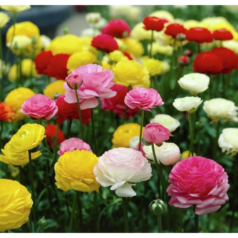 Hạt giống hoa Hồng ri ba tư (mao lương) F1 - chất lượng cao
