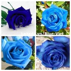 Hạt giống hoa hồng xanh dương