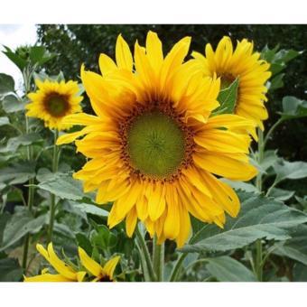 Hạt giống hoa hướng dương vàng (5g)
