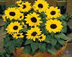 Hạt giống hoa Hướng Dương vàng lùn