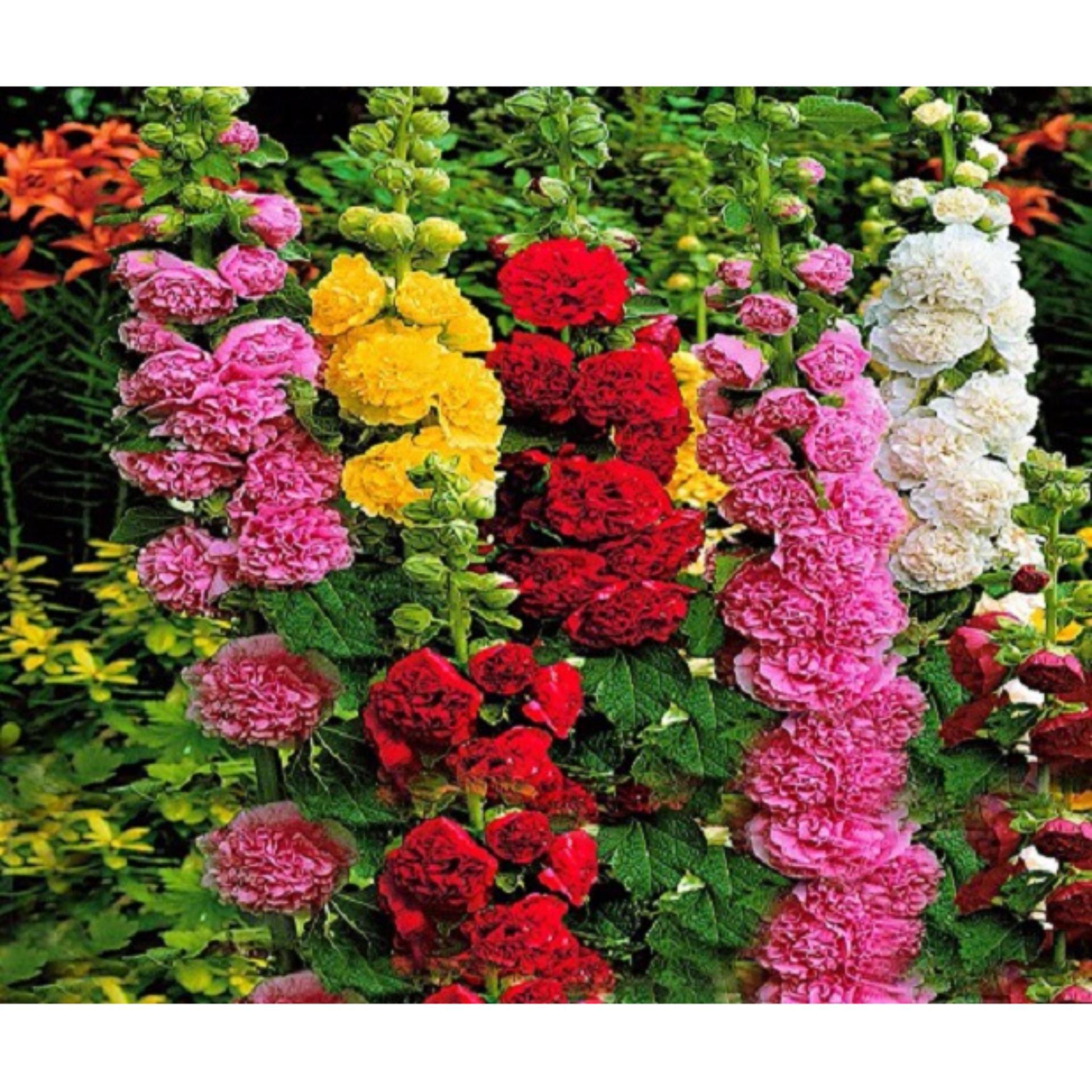 Hạt giống hoa mãn đình hồng (1g) - Hương Nông