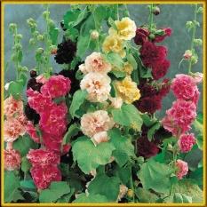 Hạt giống hoa Mãn đình hồng kép mix