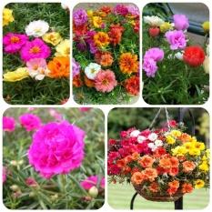 Hạt giống hoa Mười giờ kép Mỹ mix màu