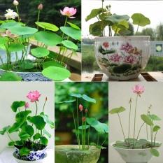 Hạt giống hoa sen Nhật mini (5 hạt, nhiều màu)