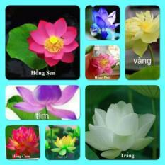 Hạt giống hoa sen Nhật mini nhiều màu