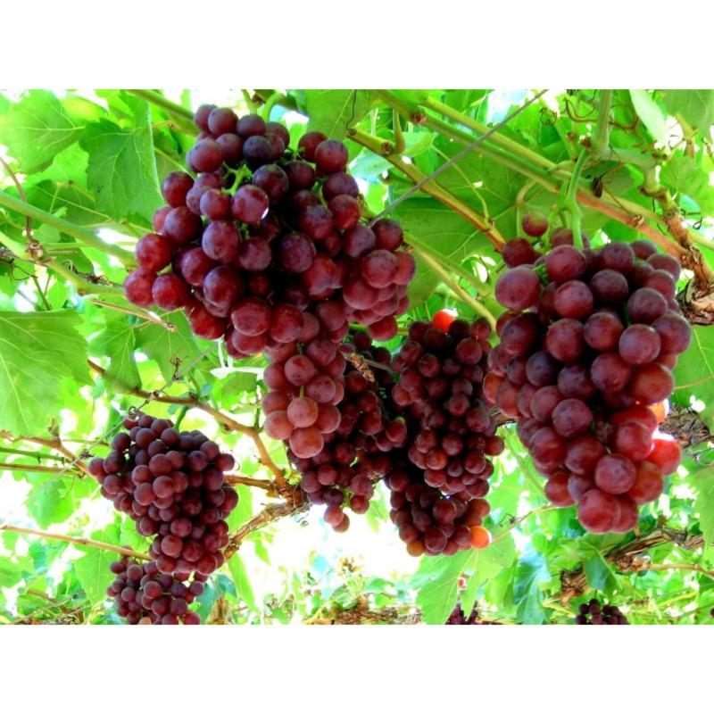Hạt giống Nho Pháp - Giống chất lượng cao, sai quả