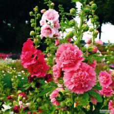 Mãn Đình Hồng kép Mix + Tặng 01 gói hạt giống hoa hồng leo pháp